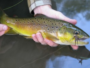 One of the prettiest browns I've brought to hand.